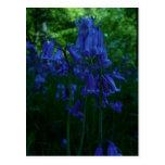 Bluebells Postcards