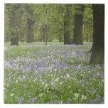 Bluebells y robles en la primavera, poco Hagley Azulejo Cuadrado Grande