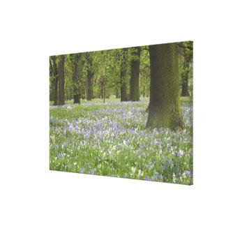 Bluebells y robles en la primavera, poco Hagley Impresión En Lienzo