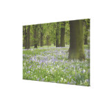 Bluebells y robles en la primavera, poco Hagley Lona Estirada Galerías