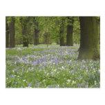 Bluebells y robles en la primavera, poco Hagley Postal