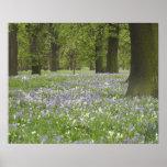 Bluebells y robles en la primavera, poco Hagley Póster