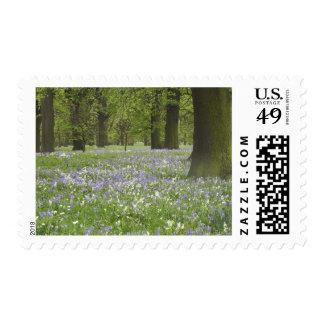 Bluebells y robles en la primavera, poco Hagley Sello Postal