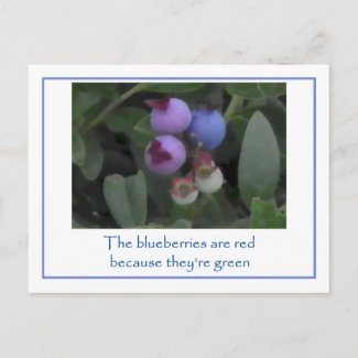 Blueberries are Red postcard