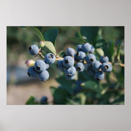 blueberries fruit poster