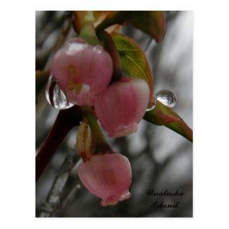Blueberry Blossoms, Unalaska Island Postcard