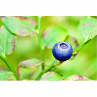 Blueberry In The Forest Photo Cut Out