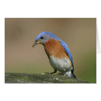 Bluebird Cards