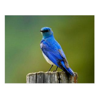 Bluebird de la montaña postal