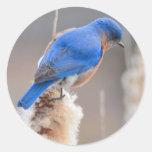 Bluebird del este etiquetas redondas