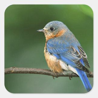 Bluebird del este femenino, sialis del Sialia Calcomanías Cuadradas Personalizadas