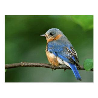 Bluebird del este femenino, sialis del Sialia Postal