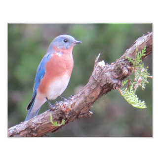 Bluebird del este fotografía