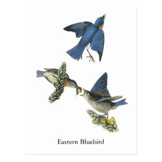 Bluebird del este, Juan Audubon Tarjeta Postal