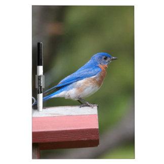Bluebird del este tablero blanco
