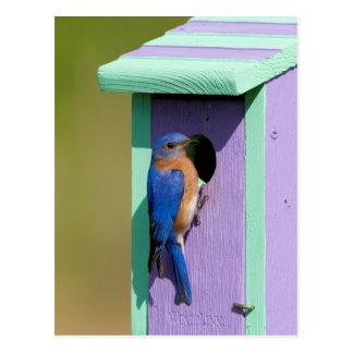 Bluebird del este tarjeta postal