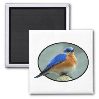 Bluebird en marco oval imán cuadrado