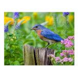Bluebird male on fence post in flower garden postcard