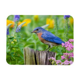 Bluebird male on fence post in flower garden rectangular photo magnet