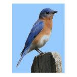 Bluebird Male Postcard