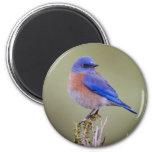 Bluebird occidental imán redondo 5 cm
