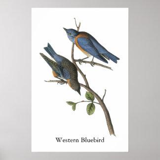 Bluebird occidental Juan Audubon Posters
