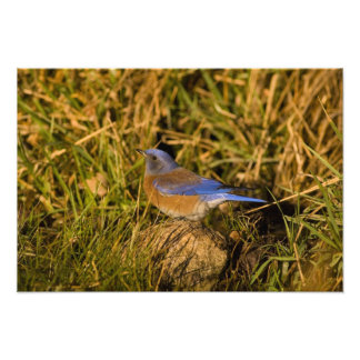 Bluebird occidental, mexicana del Sialia, varón ad Impresion Fotografica