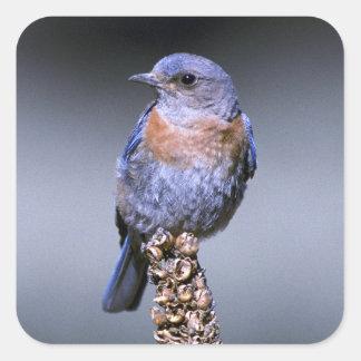 Bluebird occidental pegatina cuadrada
