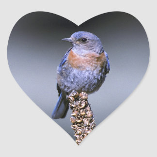 Bluebird occidental pegatina en forma de corazón