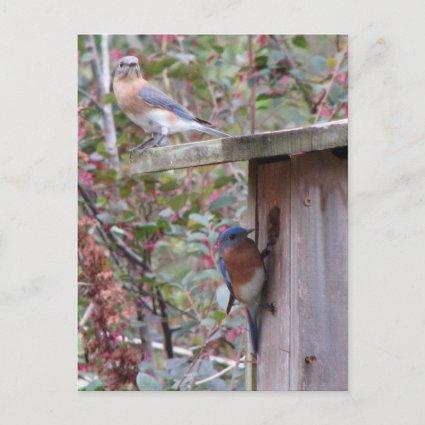 Bluebird Pair Postcard postcard