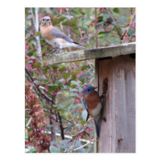 Bluebird Pair Postcard