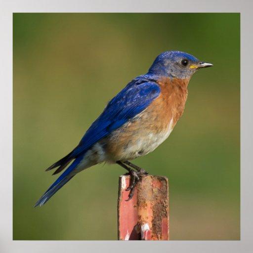Bluebird Póster