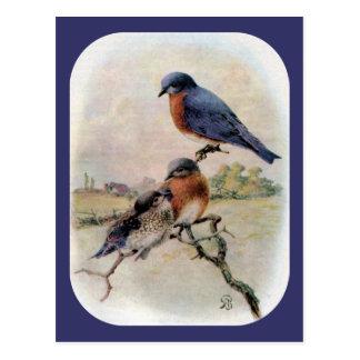 Bluebirds del este con el pájaro de bebé postal