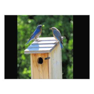 Bluebirds Fotografías