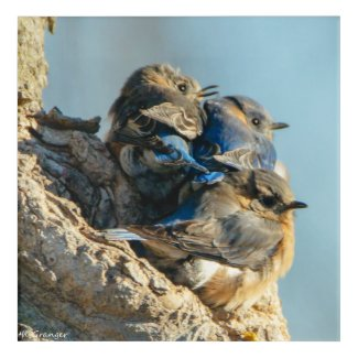 Bluebirds in the Cold Acrylic Print