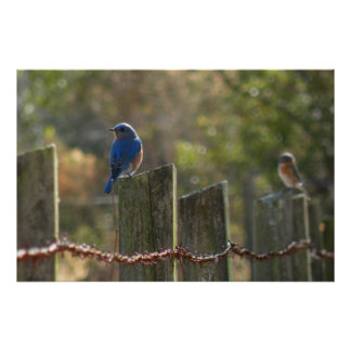 Bluebirds on Wire Fence Print
