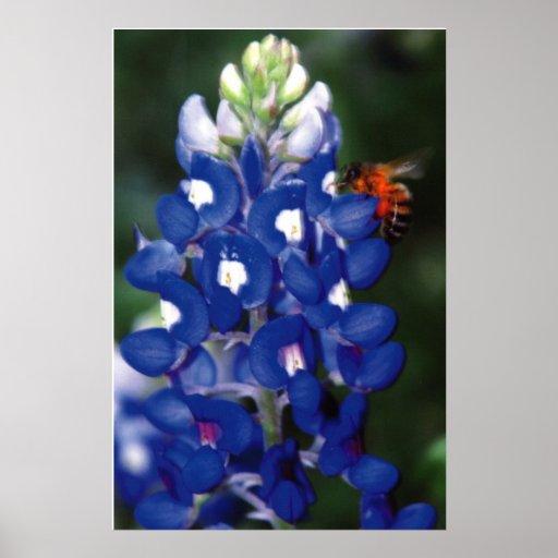 bluebonnet con la abeja póster