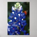 bluebonnet con la abeja posters
