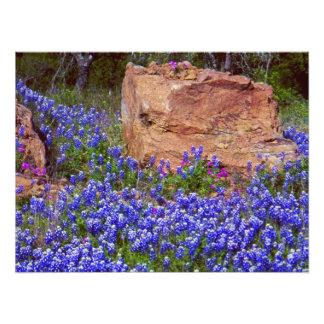 Bluebonnet Rock #2 Photo Print