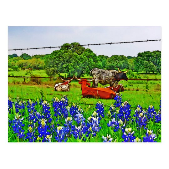 Bluebonnets and Longhorns, Texas Hill Country Postcard