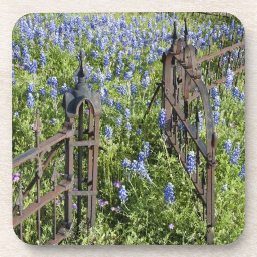 Bluebonnets and phlox surrounding cemetery gate coasters