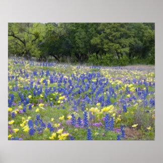 Bluebonnets, primavera, y phlox poster
