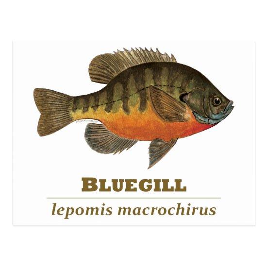 Bluegill Bream Fishing Postcard