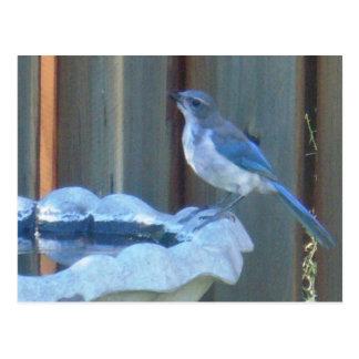 Bluejay on birdbath postcard