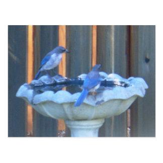 Bluejays in the birdbath postcard