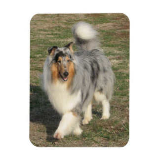 Bluemerle rough collie rectangular photo magnet