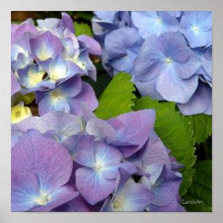 Bluest Blue Hydrangeas Poster