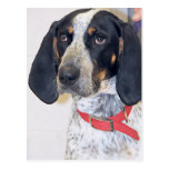 Bluetick Coonhound Photo Postcard