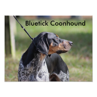 Bluetick Coonhound Poster