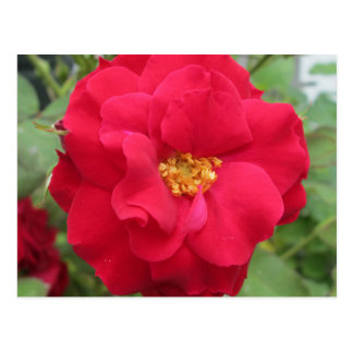 Blume de memoria color de rosa postales
